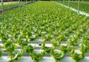 नियो हाइड्रोपोनिक विधि से बनाएं छत बगीचा कम मिट्टी और पानी का अधिकतम
