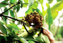 आम के पौधों में गुच्छा रोग आ जाता है कारण तथा उपाय बतायें
