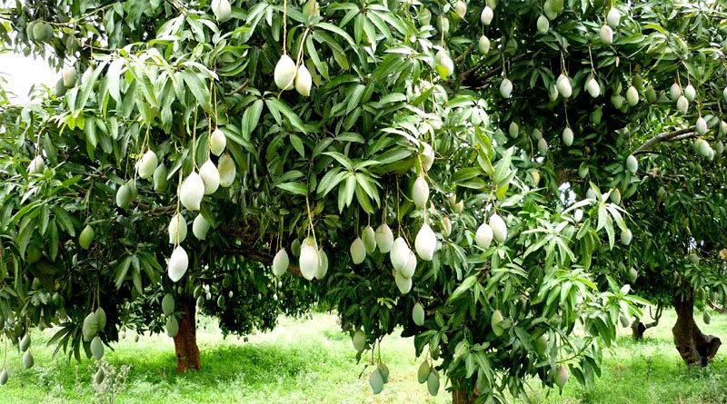 mango आम के बाग