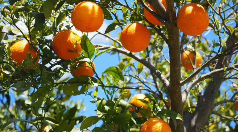संतरे के 4 वर्ष के पौधों से आने वाले वर्ष में कैसे अच्छी बहार ले