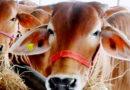 पशुओं में नस्ल सुधार का महत्व