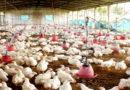 मुर्गियों की गर्मियों में देखभाल