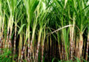 जीरो बजट में करें गन्ने की खेती