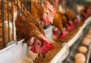 मुर्गीपालन से किसान की आय में इजाफा