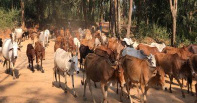 देश में गायों की संख्या