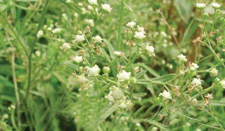 गाजरघास  का असर दलहनी फसलों पर