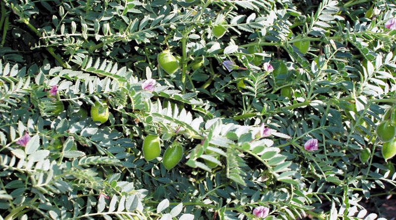rabi-crops