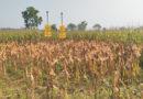 maize-crop