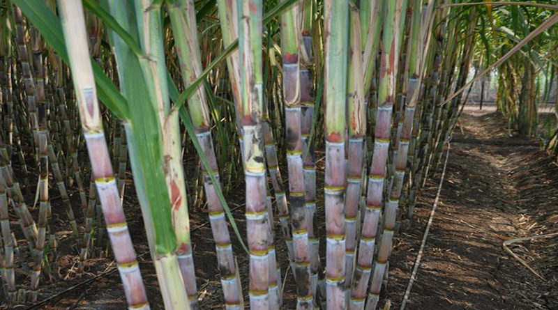 sugarcane-pests-and-prevention