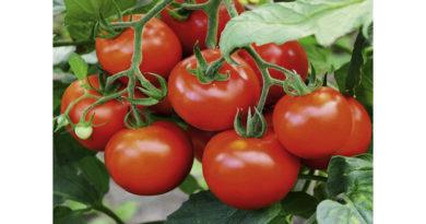 tomato-cultivation