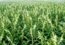 तिल उत्पादन की उन्नत कृषि तकनीक