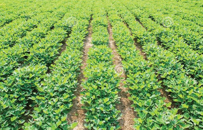 फास्फोजिप्सम से बढ़ेगा तिलहनी फसलों का उत्पादन