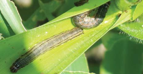 कृषिगत उपायों द्वारा धान  में  कीट नियंत्रण