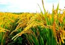 धान में पोषक तत्वों का महत्व