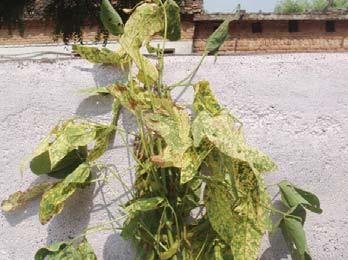 प्रमुख फसलों के विषाणु  रोग – नियंत्रण