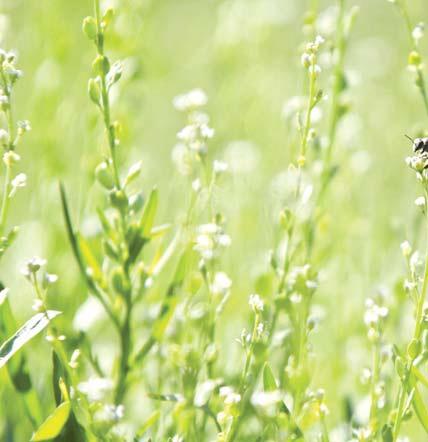 रबी फसलों के स्थान पर औषधीय एवं मसाला लगायें