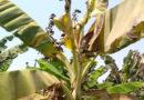 जायद मौसम में उड़द की खेती