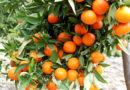 मेरे संतरे के पेड़ में फल पकने के बाद भी बहुत खट्टे हैं, मैं क्या करूं