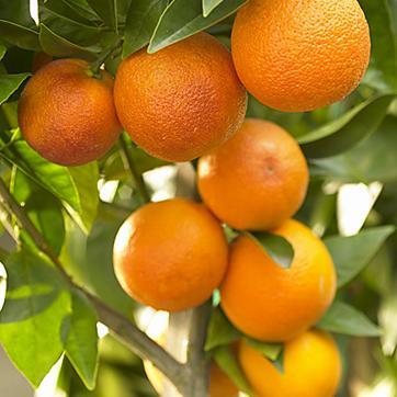 समस्या- मेरे संतरे के पेड़ में फल पकने के बाद भी बहुत खट्टे हैं, मैं क्या करूं। – नरेन्द्र पटेल ग्राम- बीसाटोला, बाईखेड़ी, होशंगाबाद