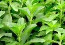 औषधीय पौधे अधिक आय का साधन
