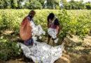 जी एम तकनीक एवं कृषि विकासबीटी फसलों को मंजूरी दे सरकार