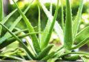 एलोवेरा की खेती भी किसानों को लाभ देती
