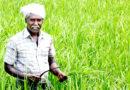 नवाचार – किसान की आमदनी दुगनी  मुनगे के साथ हल्दी बोनस में