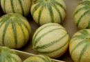 Musk melon / खरबूजा