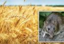 गेहूं की फसल को चूहा से बचाने के उपाय बतायें?