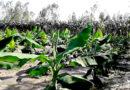 टिशू कल्चर केले की हाईटेक खेती से करें ज्यादा कमाई