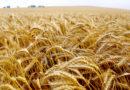 गेहूं में पोषण प्रबंधन तकनीक से बढ़ेगा उत्पादन