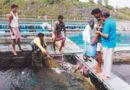 एकीकृत मछली की खेती मछली-गाय साथ पालें