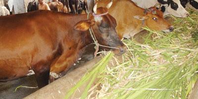 दूध उत्पादन में संतुलित पशु आहार का महत्व