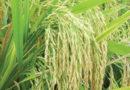 यंत्रीकृत धान रोपाई से किसानों की आय में इजाफा