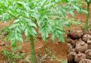 रतालू की खेती कैसे करें