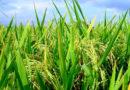 खरीफ फसलों में जिंक, सल्फर की कमी को पहचानें