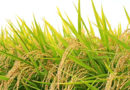 धान में एकीकृत पोषक तत्व प्रबंधन