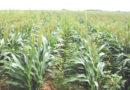 धान्य एवं तिलहनी फसलों में खरपतवार प्रबंधन