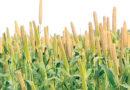 खरीफ फसलों में खरपतवार प्रबंधन
