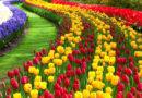 मैं गुलाब की खेती करता हूं, फूलों को अधिक समय तक अच्छा रखने के उपाय बतायें