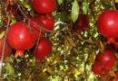 समस्या – कृषक जगत 17 से 23 नवम्बर में अनार के टिशू कल्चर से अनार के पौधों के बारे में जानकारी है, कृपया पता तथा फोन नंबर दें।