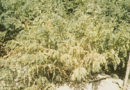 रबी फसलों में कीट-रोग प्रबंधन
