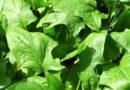 हरी पत्तेदार सब्जियां उगाएं