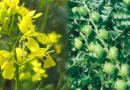 रबी फसलों में उत्पादकता बढ़ाने की अपार संभावनाएं