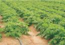 समस्या- आलू की अच्छी फसल तैयार हो रही है पत्तों पर काले धब्बे तथा चेपा लग रहा है, उपयोग बतायें।