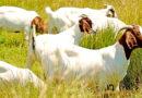 जमनापारी नस्ल से बकरी पालन व्यवसाय लाभकारी बना