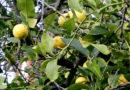 नींबू जति के पौधों में फूल झड़ जाते है, क्या करें
