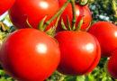 टमाटर की 18 किलो प्रति पौधा देने वाली जाति अर्का रक्षक के बारे में जानकारी दें