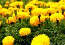 गेंदा के फूल की खेती करना चाहता हूं। इसकी खेती की जानकारी देने का कष्ट करें, संकर जाति के बीज कहां से उपलब्ध होंगे