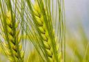 किसान को गेहूं की कीमत 2000 रुपए क्विंटल मिलेगी